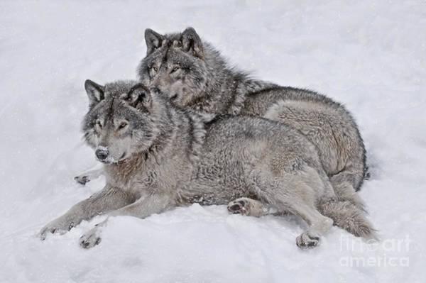 Timber Wolf Pair Art Print