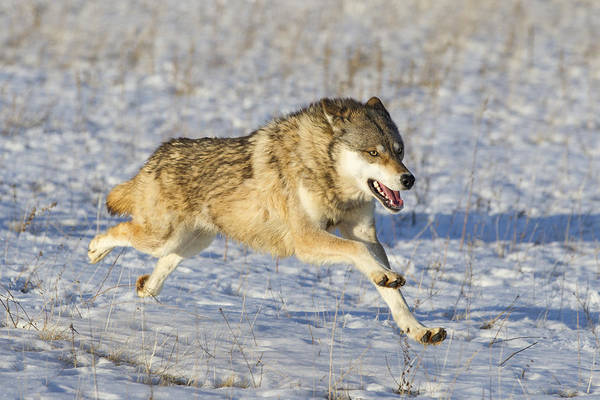 Wall Art - Photograph - Timber Wolf Running In Snow Minnesota by Ingo Arndt
