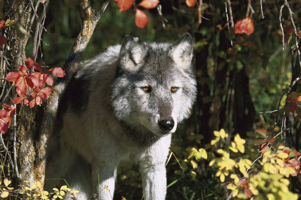 Wall Art - Photograph - Timber Wolf Teton Valley Idaho by Tom Vezo