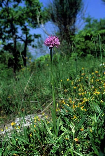 Orchis Photograph - Toothed Orchid (orchis Tridentata) by Bruno Petriglia/science Photo Library