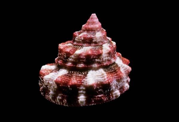 Marine Biology Wall Art - Photograph - Top Snail Shell by Gilles Mermet