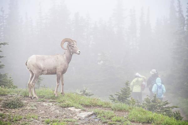 Wall Art - Photograph - Tourists Admiring Big Horned Sheep Ovis by Josh Miller Photography