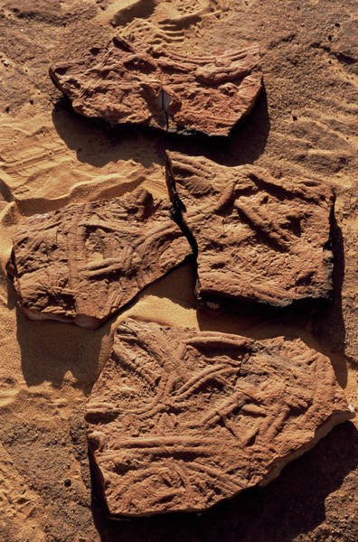Wall Art - Photograph - Trace Fossils by Sinclair Stammers/science Photo Library