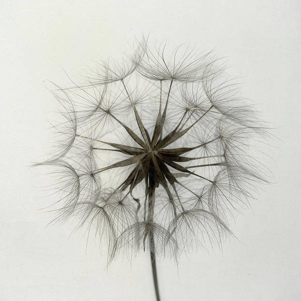 Wall Art - Photograph - Tragopogon by Lotte Gr??nkj??r