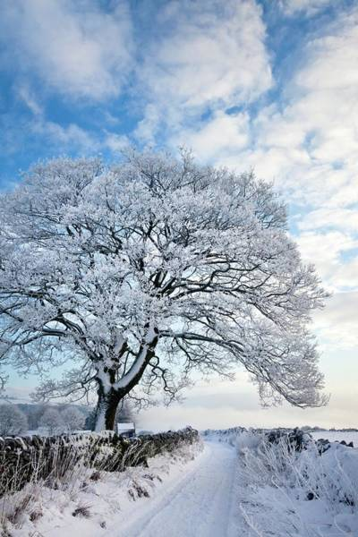 Hoar Photograph - Tree Covered In Hoar Frost by Alex Hyde