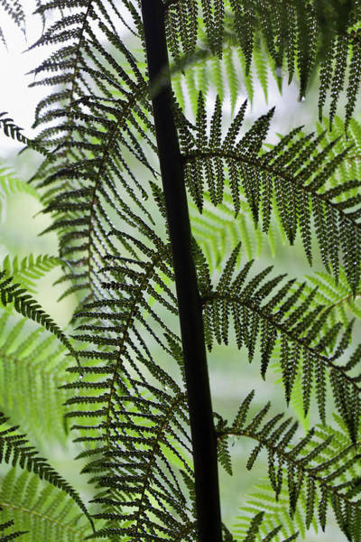 Gully Photograph - Tree Fern In Melba Gully, Great Otway by Martin Zwick