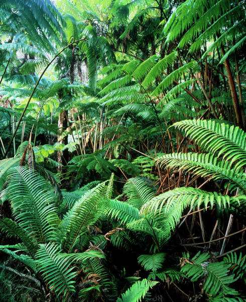 Wall Art - Photograph - Tree Ferns In Tropical Rainforest by Simon Fraser/science Photo Library