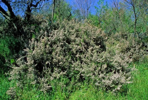 Heath Photograph - Tree Heath (erica Arborea) by Bruno Petriglia/science Photo Library