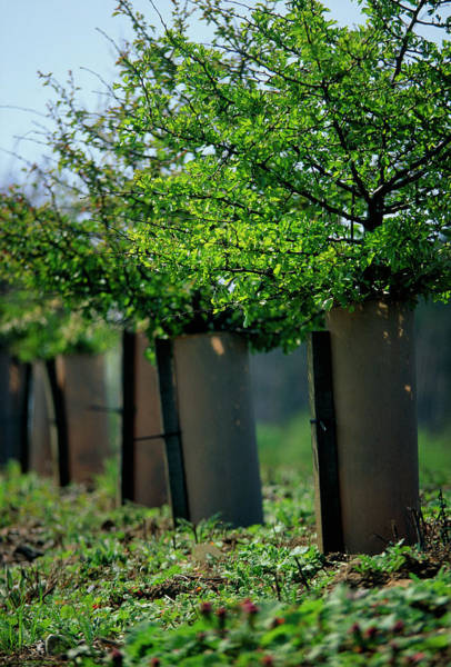 Shelter Photograph - Tree Shelter On New Trees. by Steve Taylor/science Photo Library