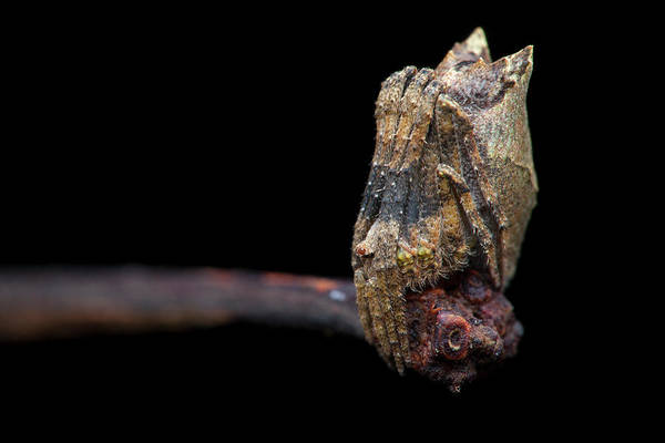 Orb Weaver Photograph - Tree Stump Orb-weaver Spider by Melvyn Yeo