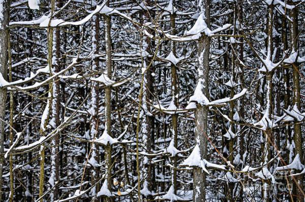 Photograph - Tree Trunks In Winter by Elena Elisseeva