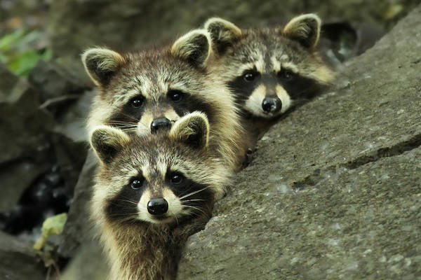Raccoon Photograph - Tres Banditos by Mircea Costina