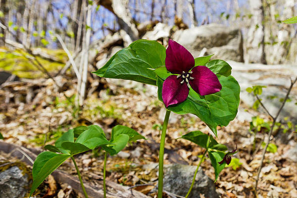 Photograph - Trillium by Rockybranch Dreams