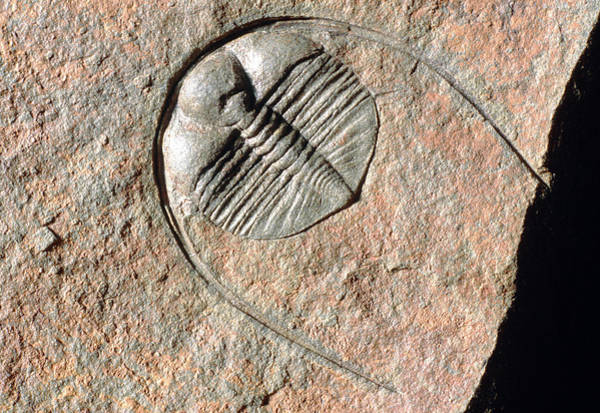 Palaeontology Wall Art - Photograph - Trilobite by Sinclair Stammers/science Photo Library