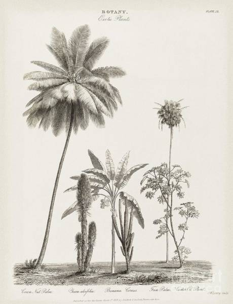 Yucca Palm Photograph - Tropical Plants, 19th Century by Middle Temple Library