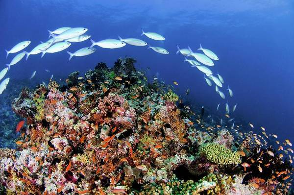 Wall Art - Photograph - Tropical Reef Fish by Scubazoo/science Photo Library