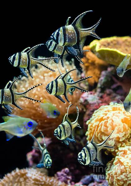 Schooling Fish Wall Art - Photograph - Tropical Wonderland - Banggai Cardinalfish by Jamie Pham