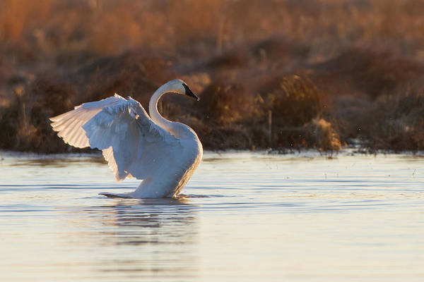 Trumpeter Swan Wall Art - Photograph - Trumpeter Swan Cygnus Buccinator by Animal Images