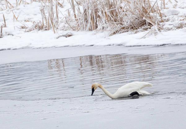 Photograph - Trumpeter Swan by Michael Chatt