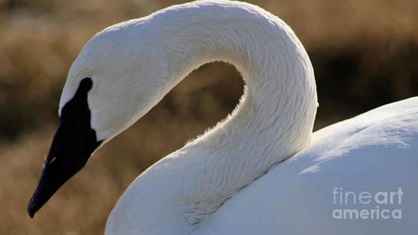Painting - Trumpeter Swan by Sue Harper