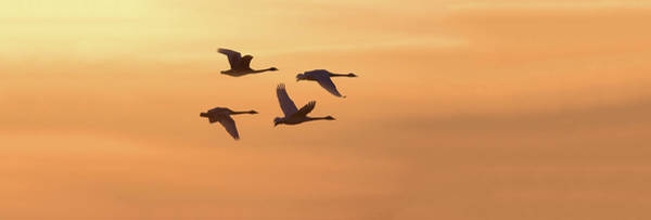 Wall Art - Photograph - Trumpeter Swans In Flight At Sunset by Panoramic Images