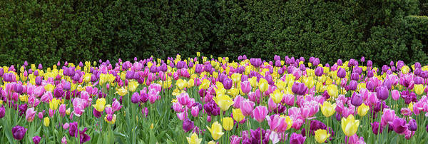 Chicago Botanic Garden Photograph - Tulip Flowers In A Garden, Chicago by Panoramic Images