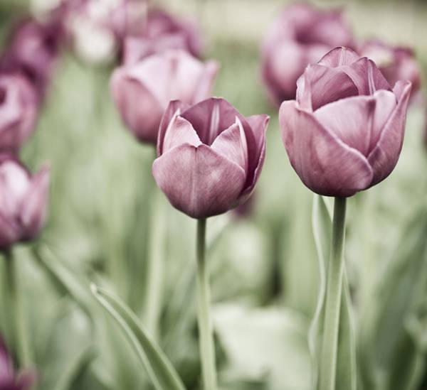 Dutch Tulip Photograph - Tulip Garden by Frank Tschakert