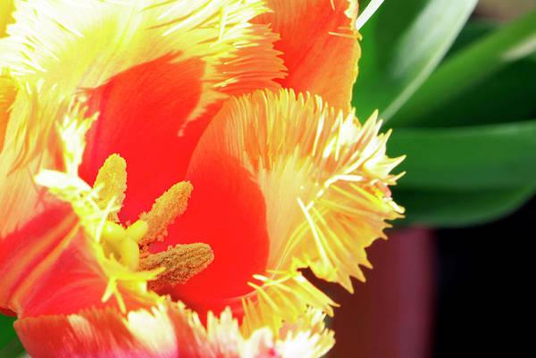 Lambada Photograph - Tulip (tulipa 'lambada') by Anthony Cooper/science Photo Library