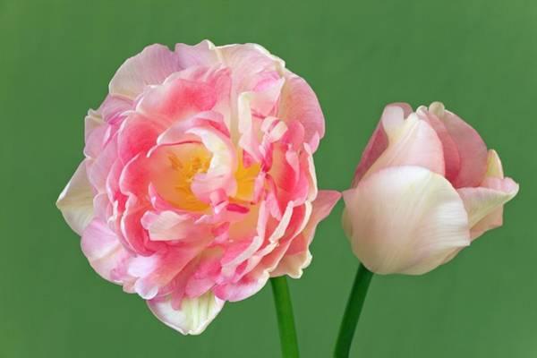 Tulip (tulipa 'peach Blossom') Art Print