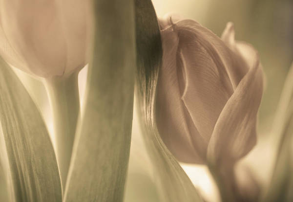 Tender Photograph - Tulips by Allan Wallberg