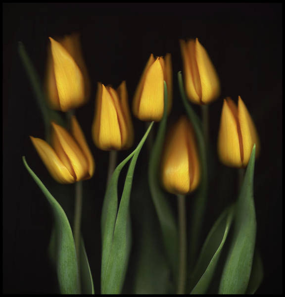 Wall Art - Photograph - Tulips by Brian Haslam