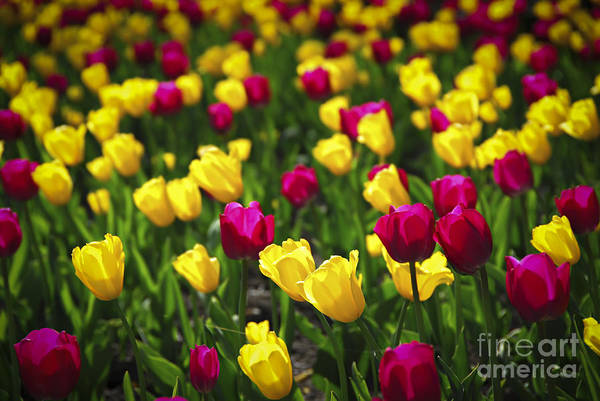 Photograph - Tulips by Elena Elisseeva
