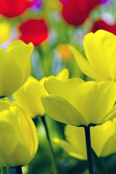 Wall Art - Photograph - Tulips by Falko Follert