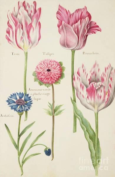 Botanical Painting - Tulips by Nicolas Robert