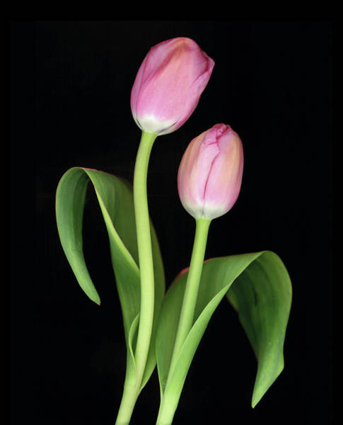 Anna Photograph - Tulips On Black Background by Anna Miller