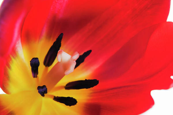 Pistil Wall Art - Photograph - Tulip's Reproductive Structures by Gustoimages/science Photo Library