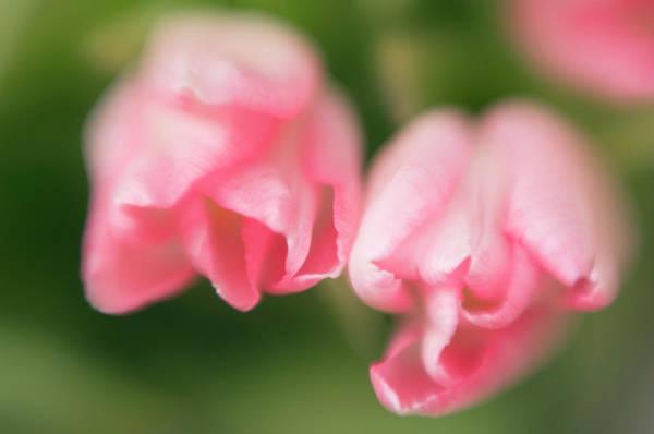 Hybrid Photograph - Tulips (tulipa Hybrid) by Maria Mosolova/science Photo Library