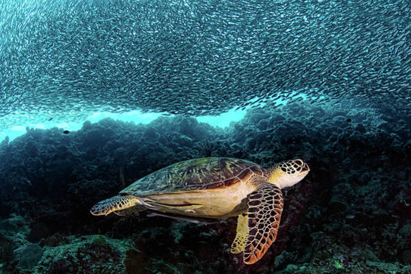 Hawksbill Turtle Photograph - Turtle And Sardines by Henry Jager
