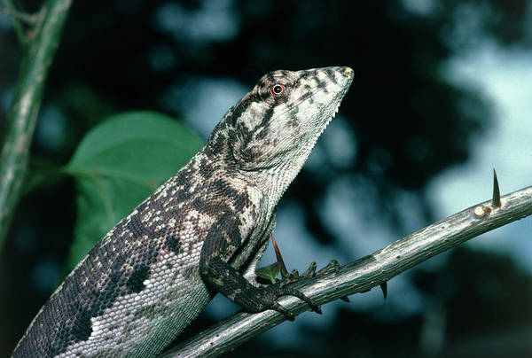 Wall Art - Photograph - Twenty Four Hours Iguana by Dr Morley Read/science Photo Library