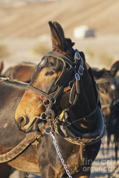 Photograph - Twenty-mule Team by Dan Suzio