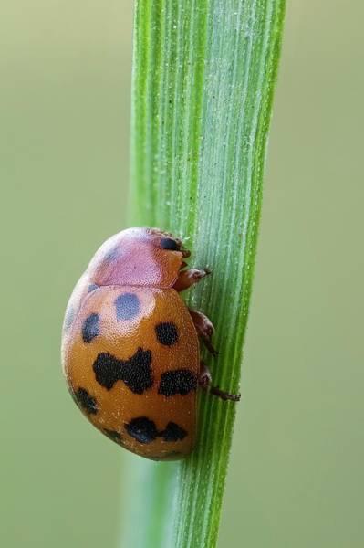 Arthropods Wall Art - Photograph - Twentyfour-spot Ladybird by Heath Mcdonald
