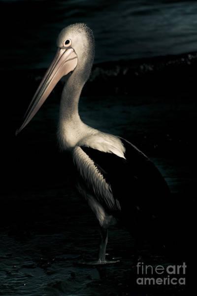 Photograph - Twilight Pelican by Jorgo Photography - Wall Art Gallery