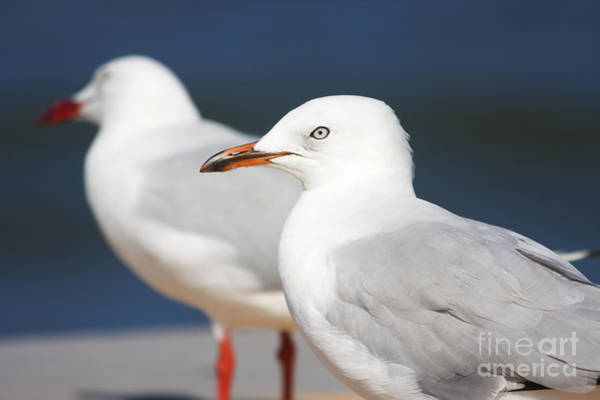 Photograph - Two Boardwalk Gulls by Jorgo Photography - Wall Art Gallery