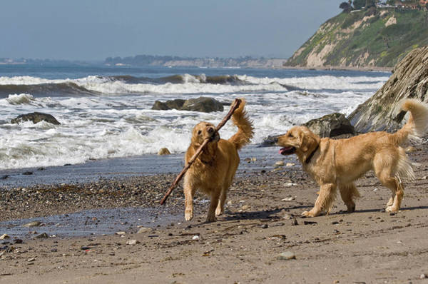 Carefree Wall Art - Photograph - Two Golden Retrievers Playing by Zandria Muench Beraldo