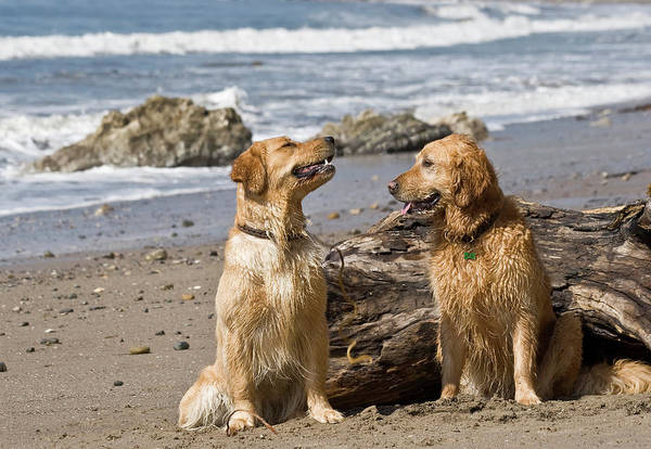 Two Golden Retrievers Sitting Together Art Print