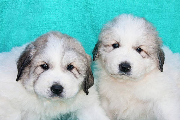 Great Pyrenees Photograph - Two Great Pyrenees Puppies Sitting by Zandria Muench Beraldo