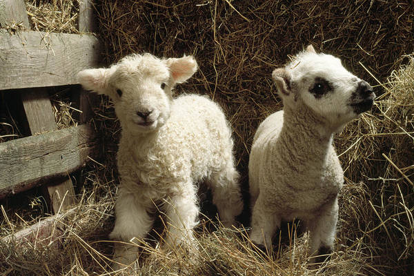 Ovine Photograph - Two Lambs by John Daniels