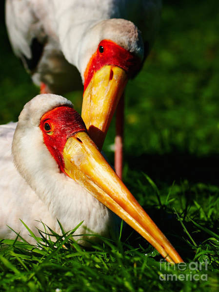 Photograph - Two Painted Storks by Nick  Biemans