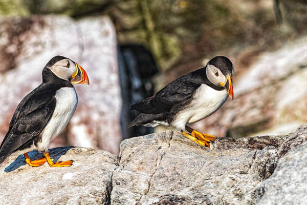 Art Print featuring the photograph Two Puffins by Perla Copernik