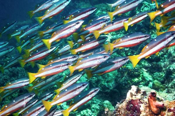 Mabul Photograph - Two-spot Banded Snappers by Georgette Douwma